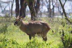 Male waterbuck antelope. In Nakuru national park, Kenya Stock Images