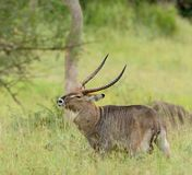Male Waterbuck bothered by flies. Waterbuck bothered by flies scientific name: Kobus ellipsiprymnus, or `Kuru` in Swaheli in the Serengeti park, Tanzania Royalty Free Stock Photos