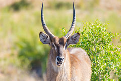 Male Waterbuck in the bush looking at camera, close up. Wildlife Safari in the Kruger National Park, the main travel destination i. N South Africa Stock Photography