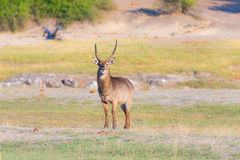 Male Waterbuck in the bush looking at camera. Wildlife Safari in the Chobe National Park, majestic travel destination in Botswana, Stock Image