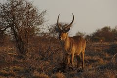 A male Waterbuck in the bush at sunset in Kruger National Park, South Africa. Stock Photo