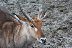 Male Waterbuck close Royalty Free Stock Images