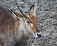 Male Waterbuck close Stock Images