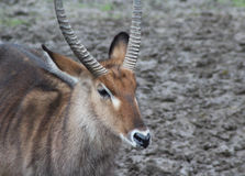 Male Waterbuck close Stock Photography