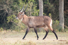 Male waterbuck with curved horns gallops past. A male waterbuck with curved horns, a white neck and brown body walks past from right to left. In the background Royalty Free Stock Photo