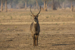 Male waterbuck. Front view of a male common waterbuck Royalty Free Stock Photos
