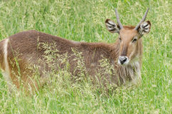 Male Waterbuck in Grasses Stock Photo
