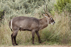 Male waterbuck grazing. A male waterbuck grazing on long grass Royalty Free Stock Photos