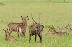 Male Waterbuck with his harem. Kobus ellipsiprymnus, or `Kuru` in Swaheli image taken in the Serengeti National park, Tanzania Stock Image