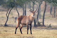 Male waterbuck with horns staring at camera Stock Photo