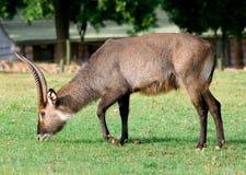 Waterbuck (Kobus ellipsiprymnus) antelope. Male Waterbuck (Kobus ellipsiprymnus) antelope,  Africa Stock Photography