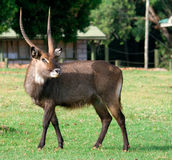 Waterbuck (Kobus ellipsiprymnus) antelope Stock Photos
