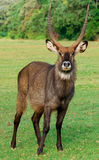 Waterbuck (Kobus ellipsiprymnus) antelope Stock Photo