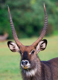Waterbuck (Kobus ellipsiprymnus) antelope Royalty Free Stock Photo