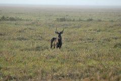 Male Waterbuck, Kobus ellipsiprymnus, Gorongosa National Park, Mozambique Royalty Free Stock Images