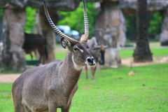Male waterbuck Royalty Free Stock Images