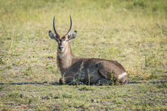 Male waterbuck lying in grass in sunshine Royalty Free Stock Photo