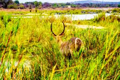 Male Waterbuck in the Reeds along the Olifant River. In Kruger National Park in South Africa Royalty Free Stock Photography