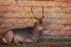 Male Waterbuck. Rest in the shade, agaist the wall Stock Images