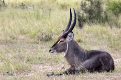 Male waterbuck resting Stock Photos