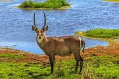 Male Waterbuck on a river. Adult male Waterbuck, Kobus ellipsiprymnus, a large, robust antelope standing in grassland near the river. Game drive safari in royalty free stock image