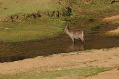 A male Waterbuck in a small river in Kruger National Park, South Africa. stock photo
