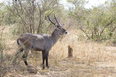 Male waterbuck standing in the middle of the bush in the bush sa Royalty Free Stock Photo