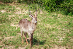 Male Waterbuck starring at the camera. Royalty Free Stock Image