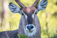 Male Waterbuck starring at the camera. Stock Photo