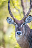 Male Waterbuck starring at the camera. Stock Images