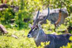 Male Waterbuck starring at the camera. Royalty Free Stock Photography