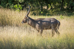 Male waterbuck walking through meadow in sunshine Stock Photography