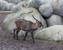 Male Waterbuck Royalty Free Stock Image