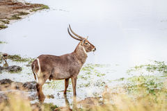 Male Waterbuck at a waterhole. Royalty Free Stock Photography