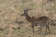 Male WATERBUCK which stands amid the dry grass in the savanna in. The dry season Stock Images