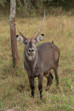 Male waterbuck winking at camera beside tree. A male waterbuck is standing in the grass beside a tree in the African savannah, apparently winking at the camera Stock Photo