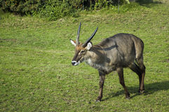Male waterbuck. A male waterbuck in a zoo Stock Photography