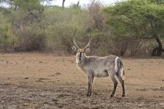 Male waterbucks the riverbank, kruger, ZA. Old male waterbuck the riverbank, kruger, ZA, South Africa Stock Photography