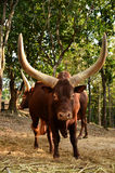 Male watusi Stock Photography