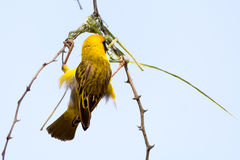 Male Weaver Bird building a nest of grass in the tree. Seen and shot on self drive safari tour through several natural parks at namibia, africa Royalty Free Stock Image