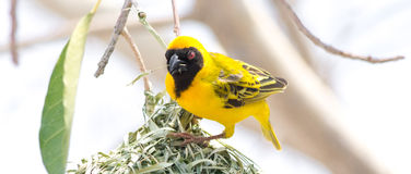 Male Weaver Bird building a Nest. Seen in namibia, africa Royalty Free Stock Photos