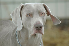 Male Weimaraner. Or grey ghost dog stock photos