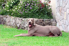 Male Weimaraner. A huge weimaraner male laying down Stock Image
