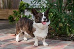 Male Welsh Corgi Cardigan 00 Stock Images