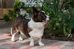 Male Welsh Corgi Cardigan 01. Male Welsh Corgi Cardiga in a garden Royalty Free Stock Images