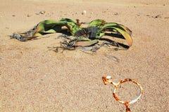 Male Welwitschia plant in Namibian desert Royalty Free Stock Photos