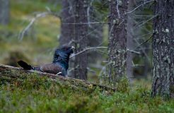 Male Western capercaillie in wild Lapland, Finland. Male Western capercaillie in wild forest Lapland, Finland Royalty Free Stock Photos
