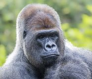 Male Western Gorilla. Close up of a male Western Gorilla Royalty Free Stock Photos