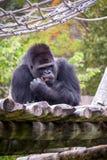 Male Western Gorilla Gorilla gorilla Stock Photo