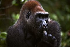 Male of Western Lowland Gorilla. The male of a gorilla picks in a nose. A native habitat Royalty Free Stock Photo